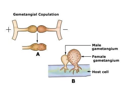 Gametangial copulation.