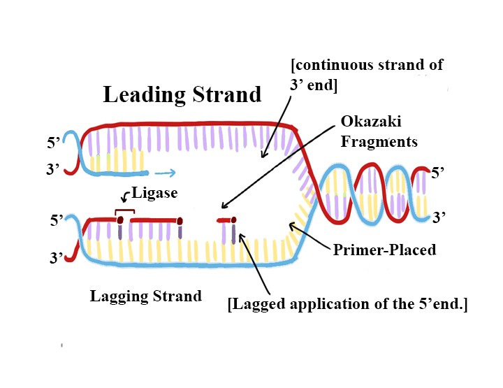 Learn Types Of Dna Replication Based On Direction Of Replication In 3 Minutes
