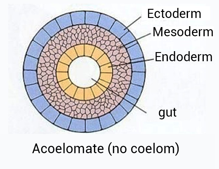 platyhelminthes coelom